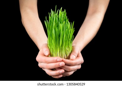 Girl holding green grass - germinated seeds of oat on black background, closeup