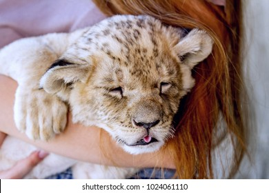 Girl holding tiny lion cub. Red hair child gently hugs Lion baby. Close-up Lion  cub tongue out and ginger little girl. Snow lion baby portrait with closed eyes basked in human hands.