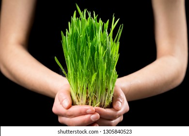 Girl holding wet green grass - germinated seeds of oat on black background, closeup