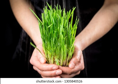 Girl holding wet green grass - germinated seeds of oat on black background under rain, closeup