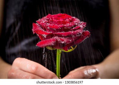 Girl holding wet red rose on black background under rain, closeup