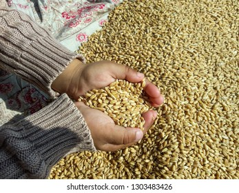 A girl is holding wheat grain in the hands