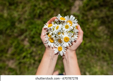 Girl holding while camomile flowers in her hands with green field background.