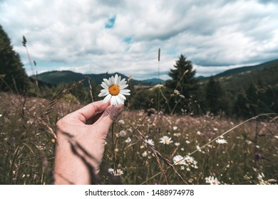girl holds a camomile in hands in the meadow at the mountains white daisies