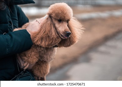the girl holds the dog in her arms and strokes it. An orange curly-haired poodle looks away.