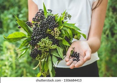 Girl holds in hands clusters fruit black elderberry in garden (Sambucus nigra). Elder, black elder. European black elderberry background
