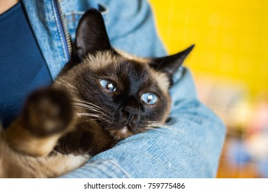 Girl holds in his hands a beautiful Siamese cat