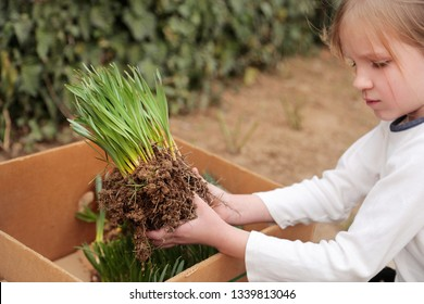 A girl holds seedling of flowers. Closeup of hand, planting hyacinth, narcissus.  Gardening concept.   Planting flowers. Working in the spring garden.