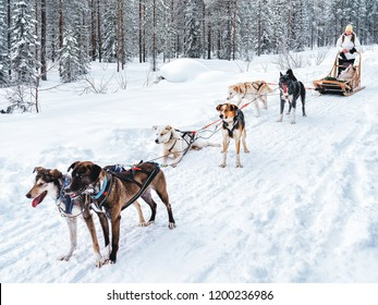 Girl in Husky dog sled in Finland in Lapland in winter.