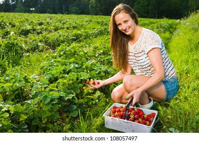 Girl inspect strawberries on field and she pick ripe ones to the basket, girl look toward camera