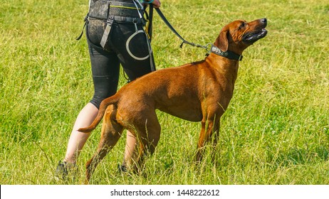 Dog Show Images, Stock Photos & Vectors | Shutterstock