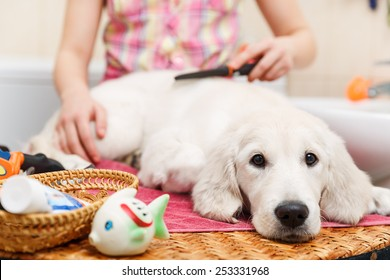 Girl owner is combing out the fur of retriever puppy after shower
