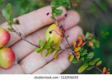Girl picking berries in the woods. Decorative twig of cranberry with green, yellow and red leaves. Autum Background