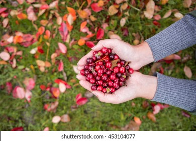Girl picking berries in the woods. She carried a handful of red cranberries. Damp and humid. Those girls are not visible, only the hands, palms.