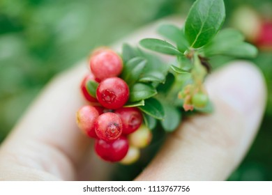 Girl picking berries in the woods. Wild berries (cowberry, foxberry, lingonberry) with leaves.