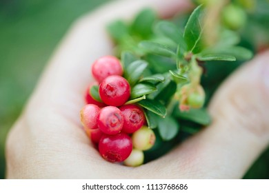 Girl picking berries in the woods. Wild cowberry (foxberry, lingonberry) with leaves.