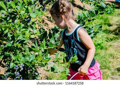 girl picking blueberries on the farm
