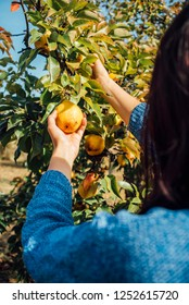Girl picking organic pears