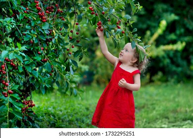 Girl picks cherries in the garden. Little blonde girl eats cherries, plucks from a tree. Green background, cherry branches, berries close-up. Cherry juice