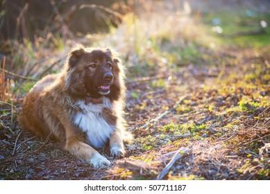 Girl playing with Caucasian shepherd dog, autumn