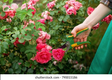 Girl prune the  bush (rose) with secateur in the garden