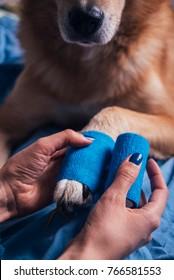 Girl putting bandage on injured dog paw