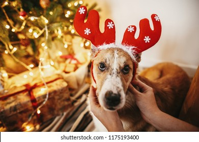 girl putting on cute dog reindeer antlers on background of golden beautiful christmas tree with lights in festive room. doggy with adorable eyes at glowing illumination. family winter holidays