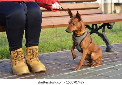 Girl sitting on a bench next to the dog (mini-Pinscher).  The pet is ready to protect his hostess.