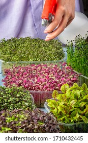 A girl is spraying micro greens from a spray bottle. Young amaranth close-up. A cut photo, growing micro green.