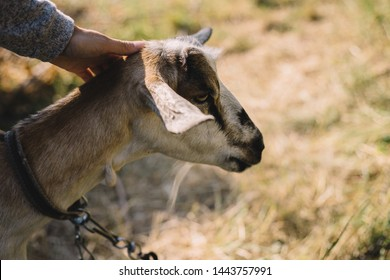 girl stroke goat's hands close up outdoors