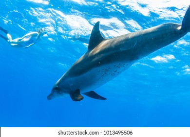 A girl swimming with wild doplphins in open sea water, underwater shot on blue background