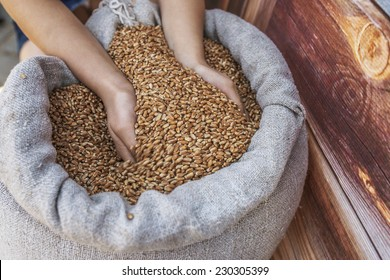 Girl takes two hands grain of wheat out of bag.