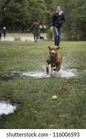 Girl throwing ball for fast running retriever dog, splashing through a puddle, to catch a yellow tennis ball, on a field with green grass at the waterfront