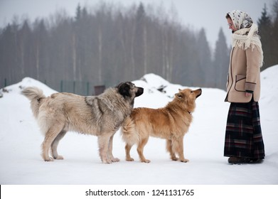 The girl trains dogs on a snowy ground in the middle of the forest in winter. The girl in a coat, a long woolen skirt and a scarf. Caucasian Shepherd guarding the yard behind the fence.