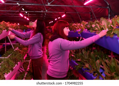 The girl works in the greenhouse. Growing plants aeroponics. Unique production of greenery and plants. Aeroponic system in plant production. An innovative method of growing plants a round year