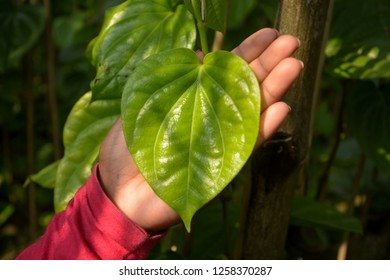 A girls hand showing a beautiful green betel leaf ( Piper Betle ) also known as pan, paan or betel quid in a vine in a farm with sunlight falling from the top of the covered farm