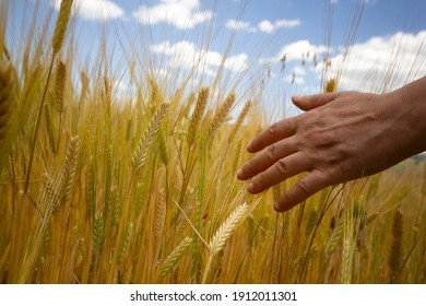 Girl's hand touches ripe ears of wheat.