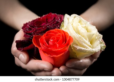 Girl's hands holding three wet colorful rose heads in palms on black background, closeup