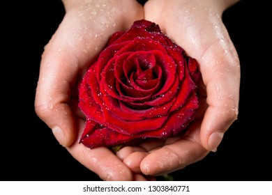 Girl's hands holding wet red rose on black background