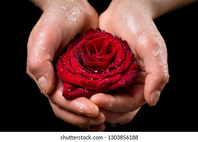 Girl's hands holding wet red rose on black background, closeup