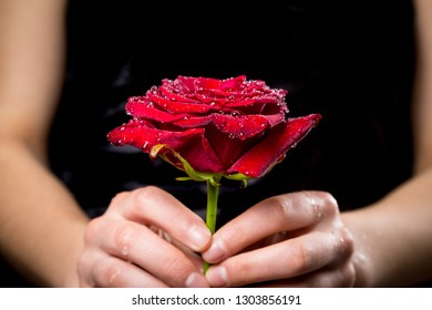 Girl's hands holding wet red rose with water drops on black background