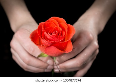 Girl's hands holding wet ruby-red rose on black background, closeup