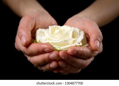 Girl's hands holding wet white rose on black background, closeup