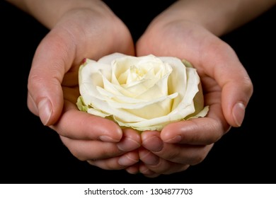 Girl's hands holding white rose head on black background, closeup