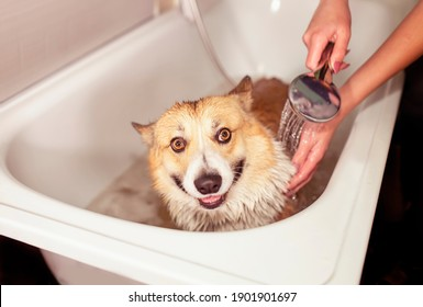 girl's hands wash the Pembroke Corgi dog puppy under the shower in the bathroom with foam and soap bubbles
