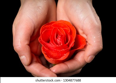 Girl's palms holding wet ruby-red rose on black background, closeup