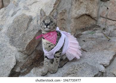 Girly Savannah cat in pink tutu dress