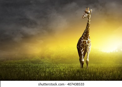 Girrafe standing on the grassland at the sunset