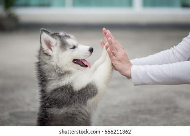Gib mir fünf - Welpe drücke seine Pfote auf eine Girl-Hand