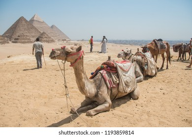 Giza piramid complex and dromedaries sitting in a line. Egypt.